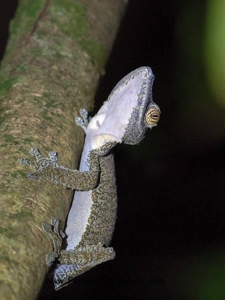 Leaf-tailed Gecko on the prowl