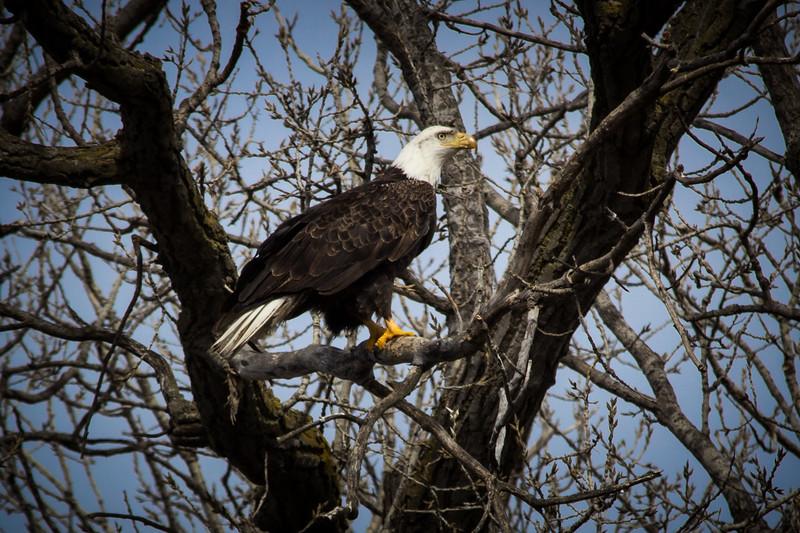Eagle sitting-7035.jpg