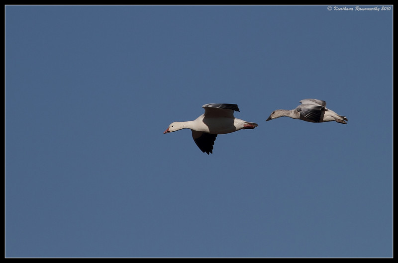 Snow Geese, one adult, one juvenile, Bosque Del Apache, Socorro, New Mexico, November 2010