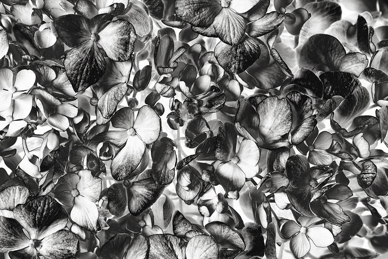 hydrangea-bw.jpg