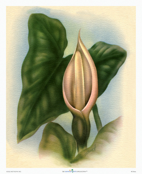 124: Ted Mundorff -- 'A'pe' Flower. Vintage Hawaiian Floral Art Print, ca 1940-1950.