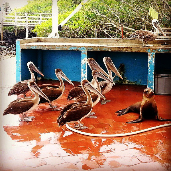 At_the_fish_market_pelicans_patiently_wait_behind_the_sea_lions_hoping_something_will_be_tossed_their_way..jpg