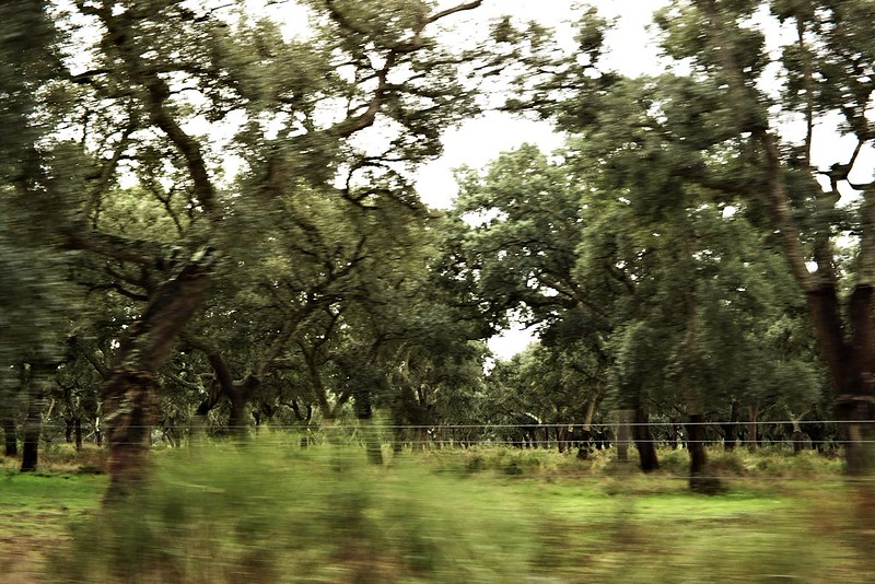 """Projíždíme nekonečnými plantážemi korkových dubů. To """"nekonečnými"""" není zas tak přehnané - silnice, po které jsme jeli, má nějakých deset kilometrů, jedete pořád rovně a na kilometry daleko kolem vás není nic než jeden korkový dub vedle druhého."""