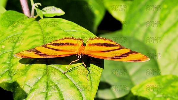 Banded Orange; Banded Orange Heliconian; Orange Tiger (Dryadula phaetusa).