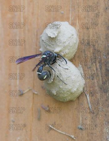 Potter Wasps or Mason Wasps (Eumenes fraternus).
