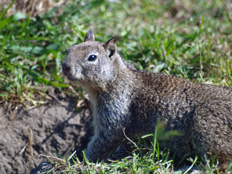 Ground squirrel, Briones
