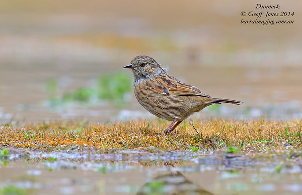 Accentors Family Prunellidae