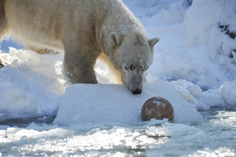 Tundra pulling his ball out on frozen ice sheet