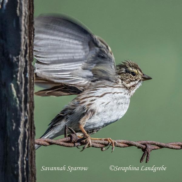 _DSC8167Savannah Sparrow.jpg
