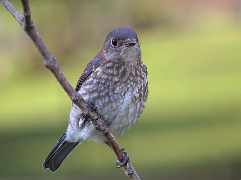 sx50_bluebird_fledgling_boas_120.jpg