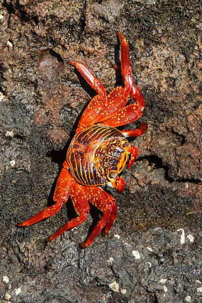 Sally Lightfood Crab at Elizabeth Bay, Isabela, Galapagos, Ecuador (11-23-2011) - 763.jpg
