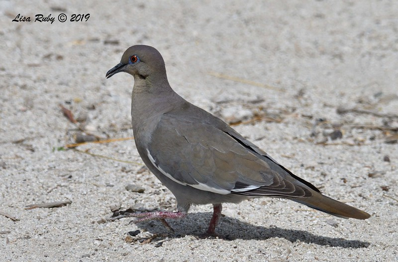 White-winged Dove - 4/15/2019 - Agua Caliente County Park Campground