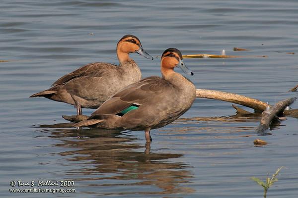Ducks, Geese - Family: Anatidae