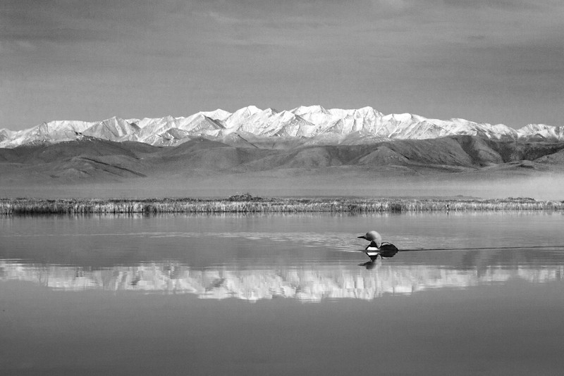 A Pacific Loon floats in a tundra pond, near the Turner River in the Arctic National Wildlife Refuge. July, 2010.