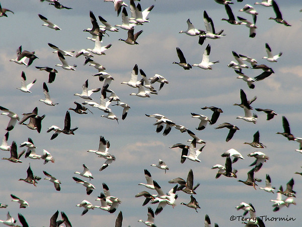 Mixed Waterfowl
