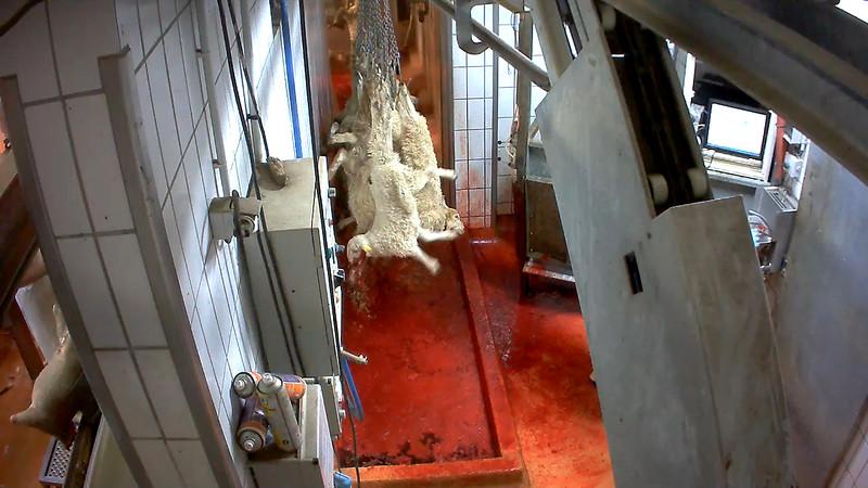agneaux-chaine-abattage-abattoir-mauleon-02.jpg