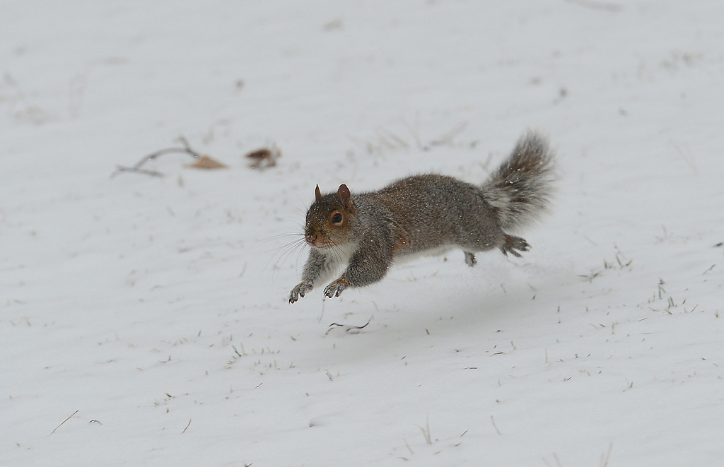 . A squirrel runs during a snow storm in New York, January 22, 2014.   AFP PHOTO/Emmanuel DUNAND/AFP/Getty Images