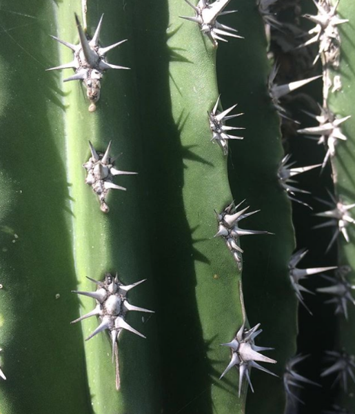 Prickly Cactus.png