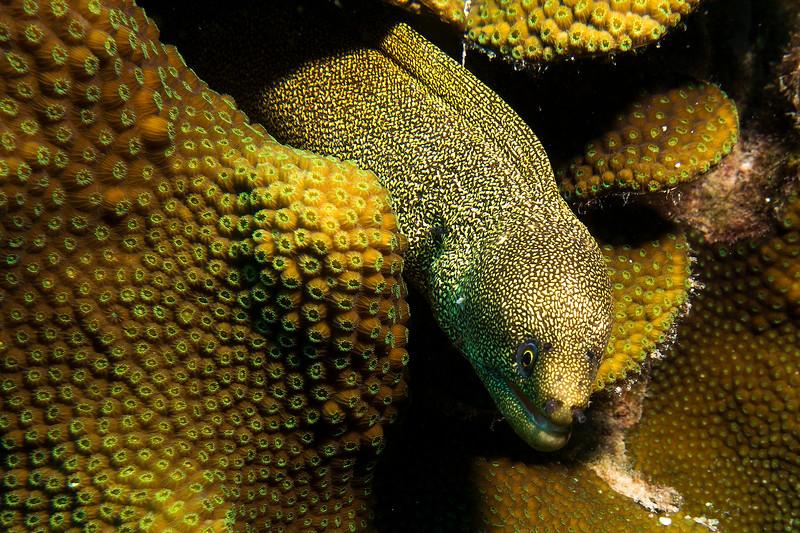 gold eel a bon18.jpg