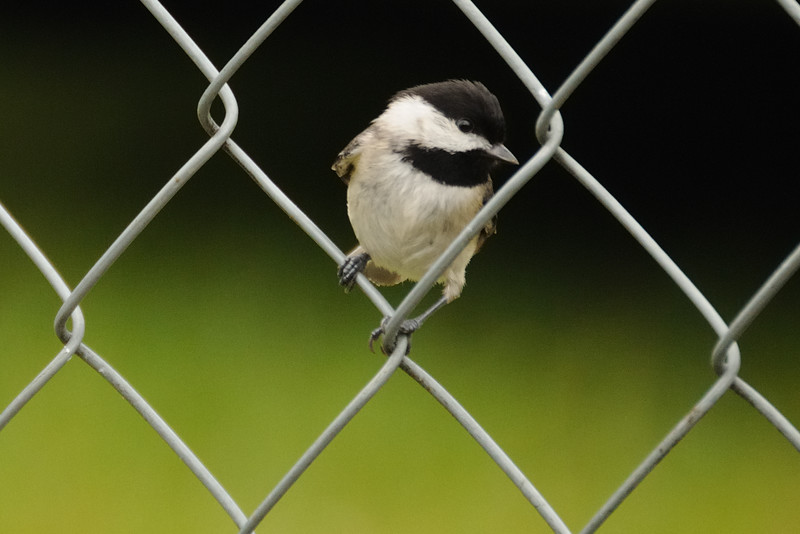 My little Carolina chickadee.