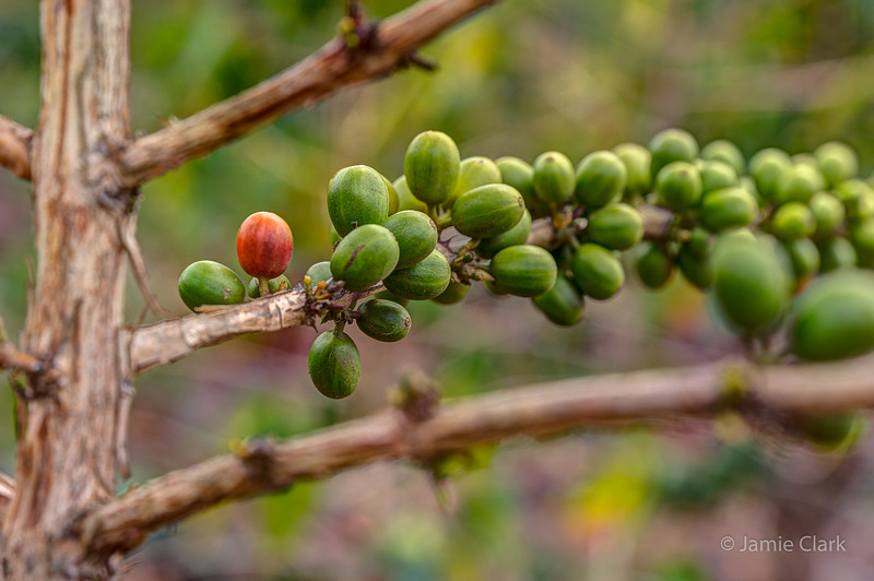Coffee beans, one of them ripe. Kona, Hawaii