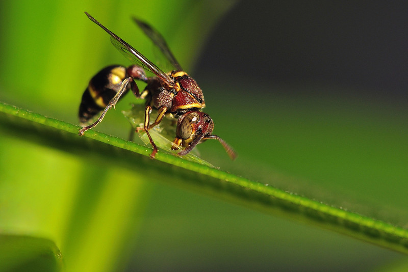 Paper-Wasp-snacking.jpg