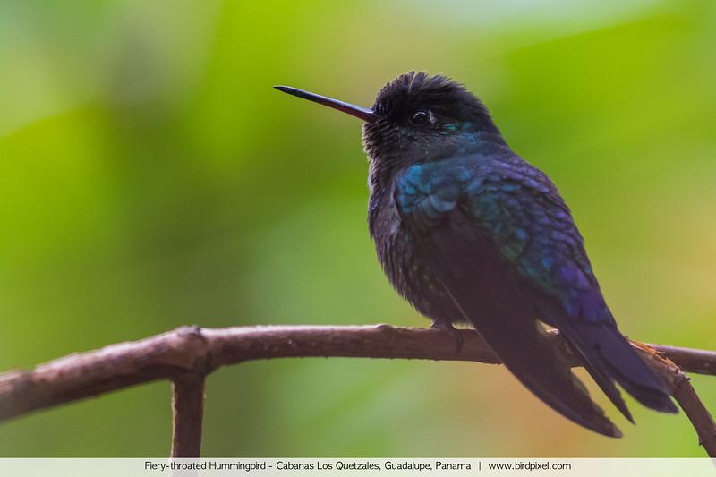 Fiery-throated Hummingbird - Cabanas Los Quetzales, Guadalupe, Panama