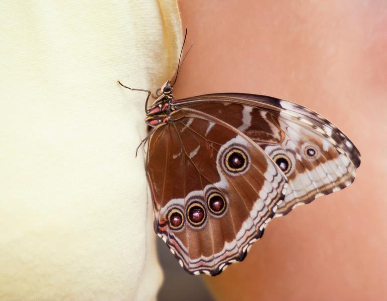Blue Morpho Butterfly on Tank Top – Morpho peleides in a Butterfly House