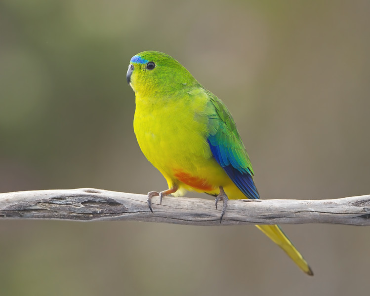 Orange-bellied Parrot