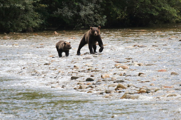 Brown Bear Cubs at Great Bear Lodge BC 2014