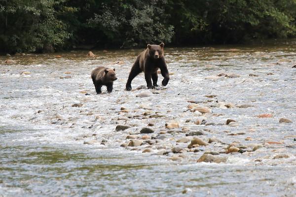 Brown Bears at Great Bear Lodge BC 2014