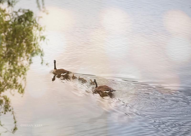 geese6497.jpg