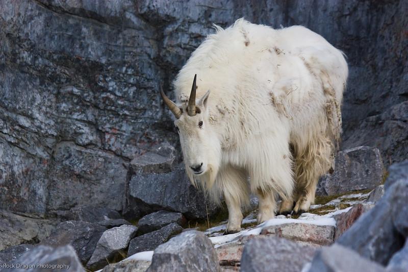 Mountain Goat, Calgary Zoo, Nov. 30