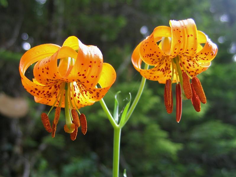 Tiger lilies, Lilium columbianum