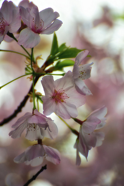 Verdala Tree in Bloom_DSC9128 - Version 2.jpg