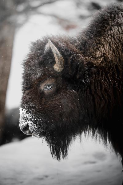 Bison Portrait