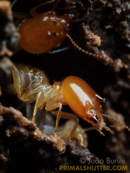 Soldier termites at the entrance of a nest