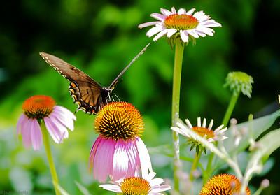 Shooting Butterflies at Brookside Gardens