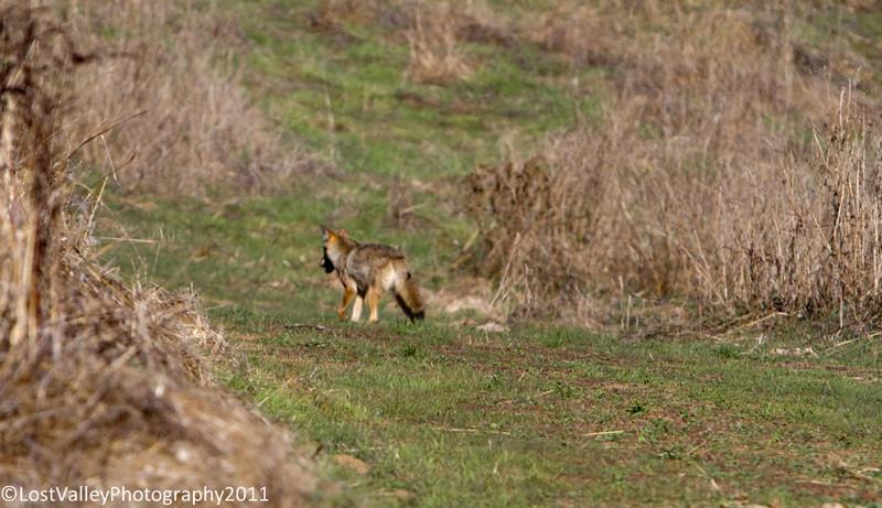 Briones-Coyote-2041.jpg