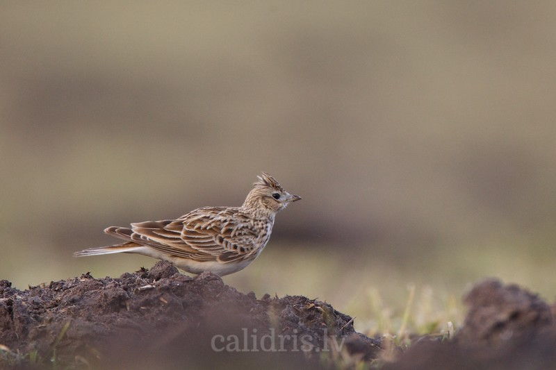 Skylark on ground