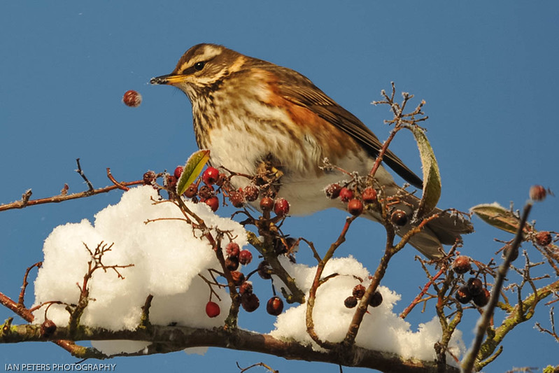 Redwing and berry