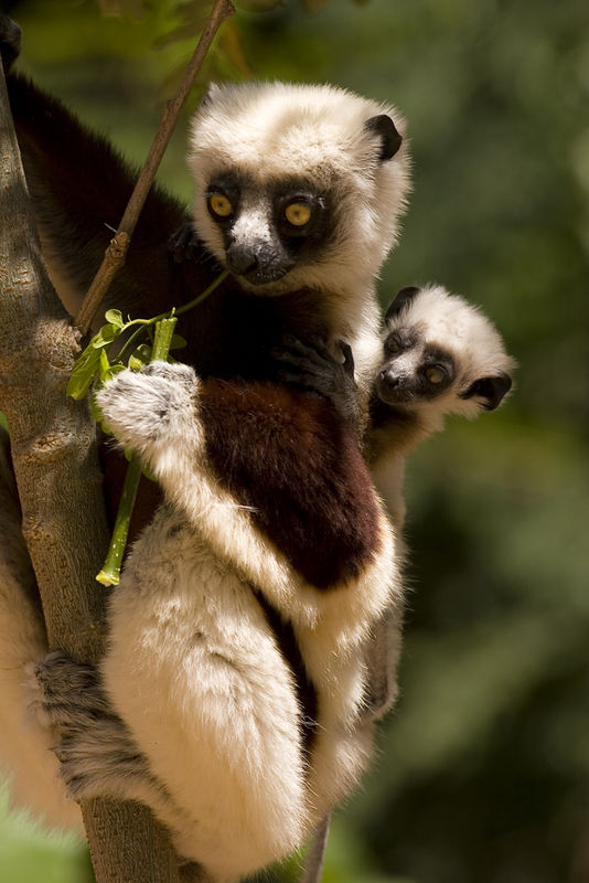 A mother with a clinging baby Coquerel's Sifaka (Propithecus verreauxi coquereli) in Parc National Ankarafantsika. It was amazing to watch the mothers leap from tree to tree with the baby hanging on. 8/20/05.
