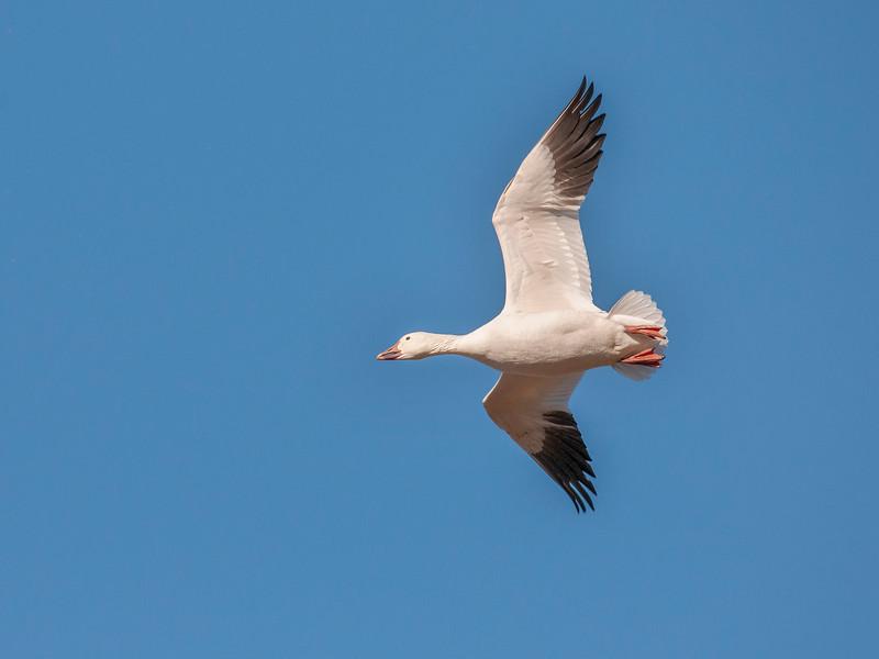Snow Goose in Flight Seven.jpg