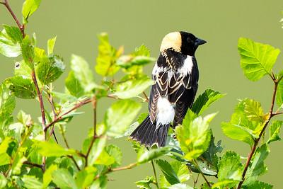 Blackbirds, Bobolinks, Larks, Orioles, Grackles and Cowbirds