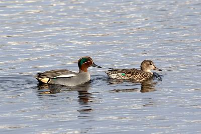 Simänder – Dabbling Ducks