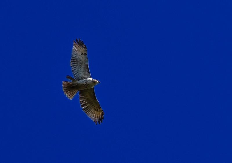 hawk-1609.jpg