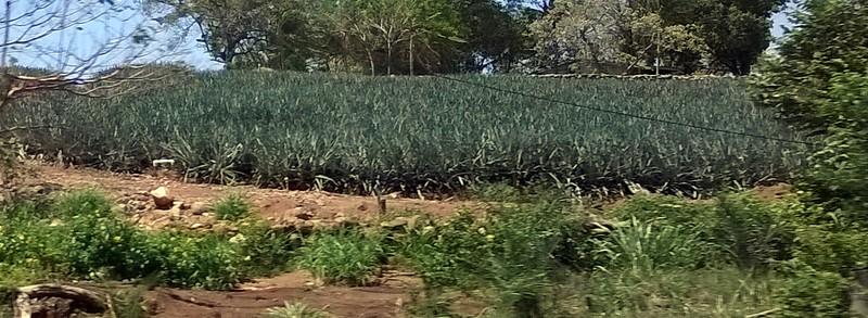 Fields of pineapple.