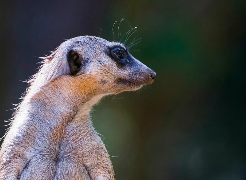 Meerkats-10.jpg