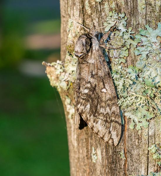 Ceratomia undulosa Waved Sphinx 7787 Family Sphingidae moth Skogstjarna Carlton County MN DSC02452.jpg