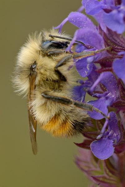 redtailedbumblebee1.jpg